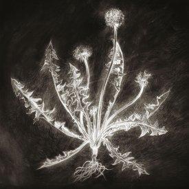 SCOTT TUMA / Dandelion (LP)