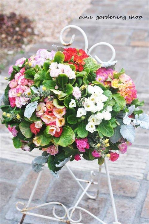 バラ咲きジュリアン  ピンク系