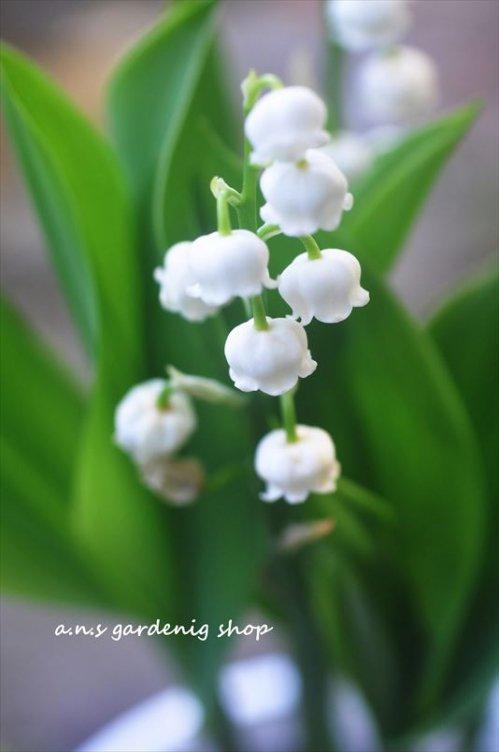 小さな花が鈴なりに咲く スズラン