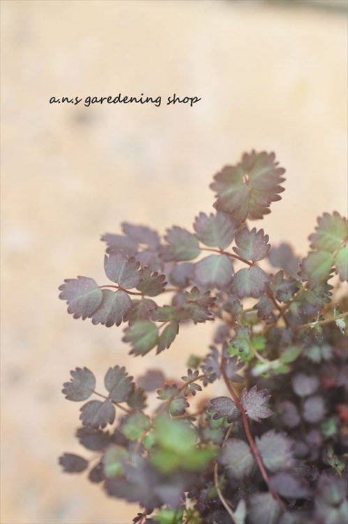 小さなギザギザの葉っぱが可愛い  アカエナ パープレア