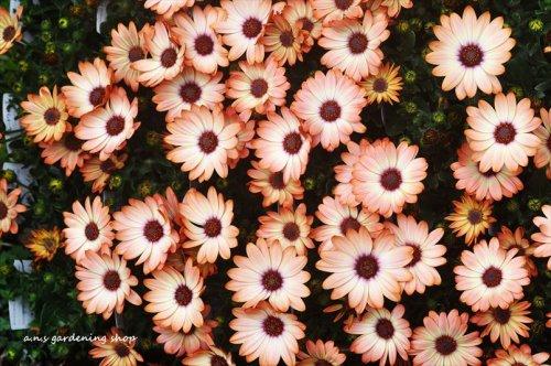 次々と花を咲かせる オステオスペルマム シナモン