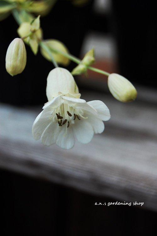 シレネ・ユニフローラ 3/4一番最後の画像の苗です
