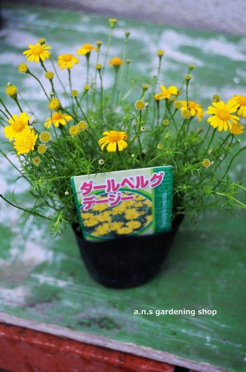 ふんわりと咲くダールベルグデージー