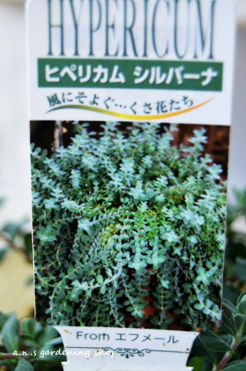 カーペット状に咲く ヒぺリカム シルバーナ