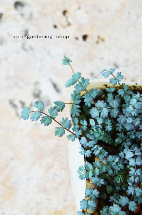 小さなギザギザの葉っぱが可愛い  アカエナ サカッティクプラ