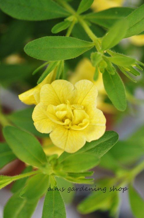 1ポットでボリュームたっぷり♪八重咲きカリブラコア ノア