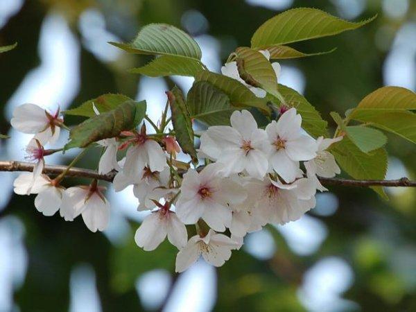 岐阜県(東美濃産)山桜はちみつ300g