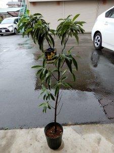 めずらしい黄花ヤマボウシ【常緑性】入荷しました! 単木 樹高約110㎝