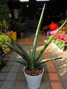 サンセベリア サンスベリア ロブスター 空気清浄が出来る観葉植物