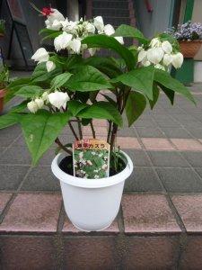 源平カズラ(ゲンペイカズラ) 鉢植え