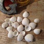 【貝殻セット】8g ちっちゃな白い貝がら《ホワイト》[自然素材,海,sea,夏,デコ]