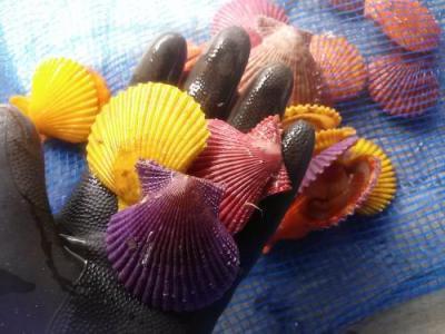 【養殖活ヒオウギ貝60(10個)】殻長55~64ミリ(約40g)