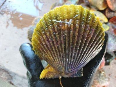 【養殖活ヒオウギ貝100(1個)】殻長95ミリ以上(100g以上)