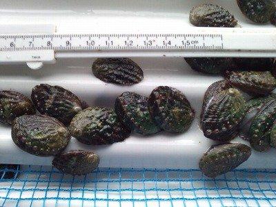 養殖活アワビ稚貝(殻長約45ミリ以下)