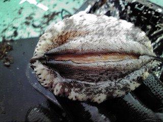 【養殖活アワビ50(1個)】(殻長約70ミリ-約50g)