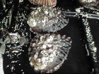 【養殖活アワビ40(1個)】(殻長約65ミリ-約40g)