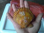【養殖活ヒオウギ貝80(10個)】殻長75〜84ミリ(80〜100g)
