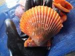 【養殖活ヒオウギ貝90(10個)】殻長85ミリ以上(100g以上)
