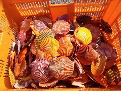 【ヒオウギ貝の貝殻(10枚)】サイズ指定可能 愛媛宇和島産!私が育てました!