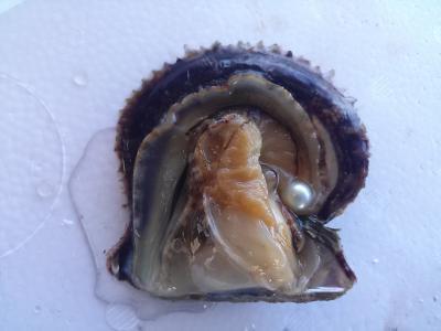 【真珠入りアコヤ貝(越し物)1個】愛媛宇和島産