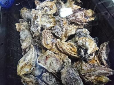御荘牡蠣(1キロ1500円)