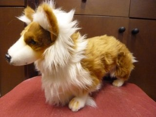Welsh Corgi  M