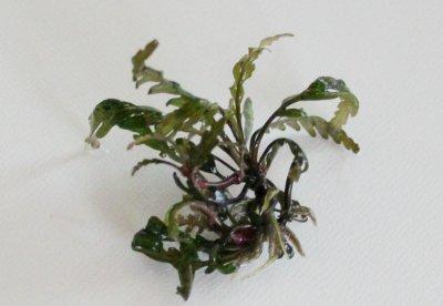 トロピカ産 お得な5本セット 無農薬 ハイグロフィラ・ピナティフィダ(ピンナティフィダ)(5本 小さめ)写真は1本です