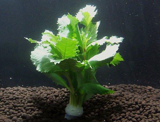 国産無農薬 ウォーターウィステリア(5本) 水上葉