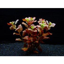 国産無農薬 ルドウィジア オバリス(5本)水上葉