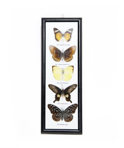 IMPORT / BUTTERFLY SPECIMEN COLLECTION 5fig collection frame