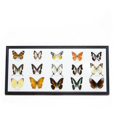IMPORT / BUTTERFLY SPECIMEN COLLECTION 15fig collection frame