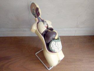 UKビンテージ 人体模型 骨格標本 オブジェ インテリア 什器 ♪