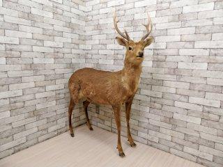 雄鹿 しか トナカイ 剥製 置物 実寸大 全身 大型 インテリア オブジェ 角 標本 動物  ●