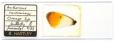蝶の羽の永久プレパラート