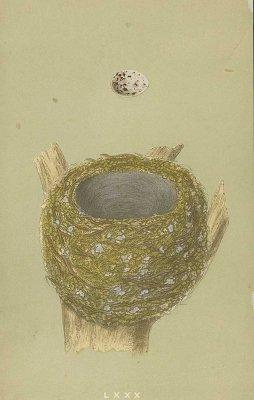 鳥の巣と卵 図版「CHAFFINCH」/イギリス1853年
