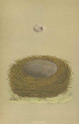 鳥の巣と卵 図版「yellow-hammer」/イギリス1853年