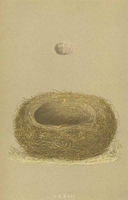 鳥の巣と卵 図版「wood lark」/イギリス1853年