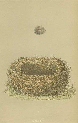 鳥の巣と卵 図版「meadow pipit」/イギリス1853年