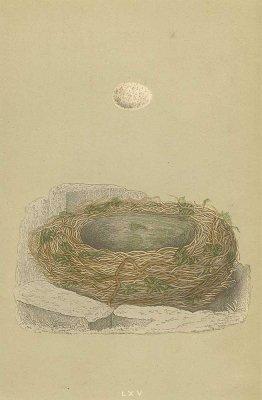 鳥の巣と卵 図版「grey wagtail」/イギリス1853年