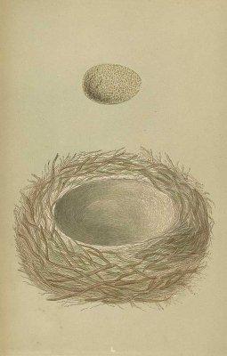 鳥の巣と卵 図版「jay」/イギリス1853年