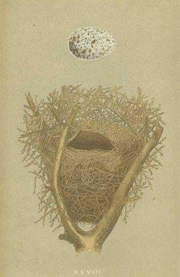 鳥の巣と卵 図版「magpie」/イギリス1853年