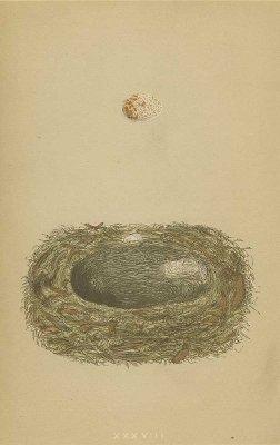 鳥の巣と卵 図版「spotted flycatcher」/イギリス1853年