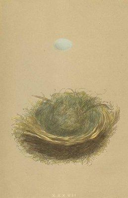 鳥の巣と卵 図版「pied flycatcher」/イギリス1853年
