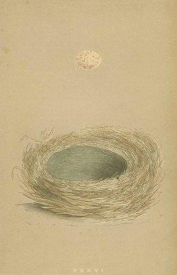 鳥の巣と卵 図版「bearded tit」/イギリス1853年