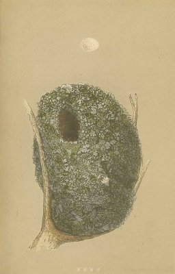 鳥の巣と卵 図版「long-tailed tit」/イギリス1853年