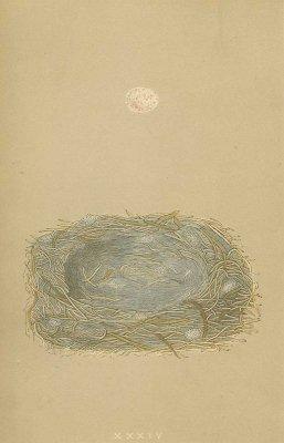 鳥の巣と卵 図版「marsh tit」/イギリス1853年
