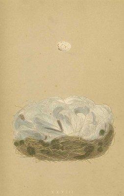 鳥の巣と卵 図版「blue tit」/イギリス1853年