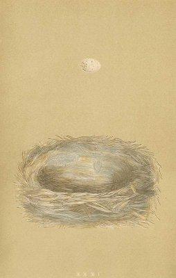 鳥の巣と卵 図版「cole tit」/イギリス1853年