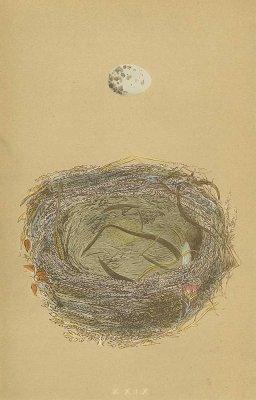 鳥の巣と卵 図版「woodchat」/イギリス1853年