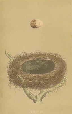 鳥の巣と卵 図版/イギリス1853年